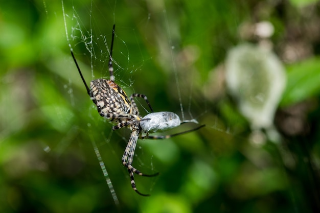 Banded argiope spider on its web about to eat its prey, with egg sack Free Photo