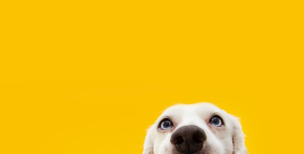 Banner hide funny surprised dog puppy isolated on yellow. Premium Photo