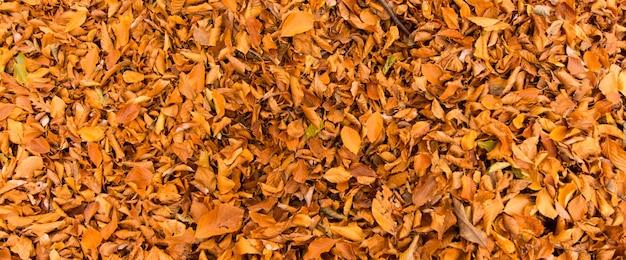 イタリア、ラツィオ、モンティチミニでの背景の葉のバナー。ブナの木の紅葉。黄色の葉とブナ。 Premium写真