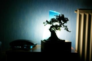 Banzai tree in the room Free Photo