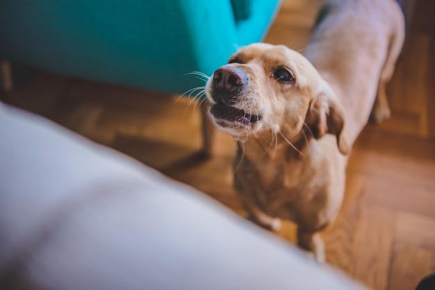 犬が自宅でbarえる Premium写真