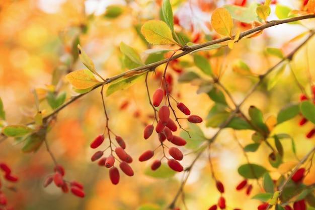 Ягоды барбариса вися на ветви на красочном boken. цвета осени. ветка с ягодами Premium Фотографии
