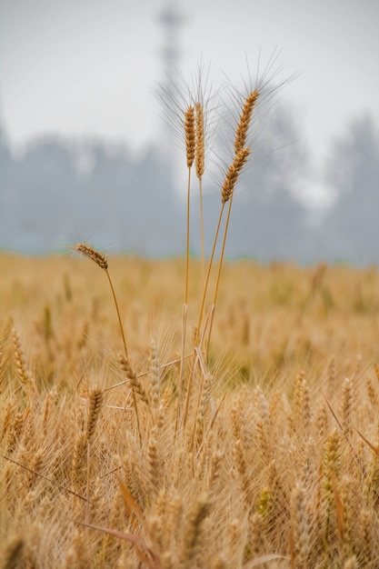 Barley field in the sunlight Free Photo