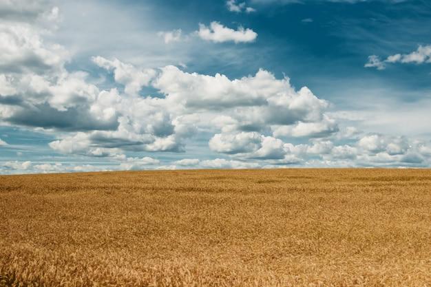 Barley yellow field Premium Photo