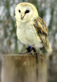 barn owl harrypotter photo free download
