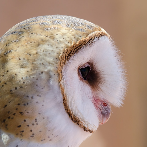 Barn owl portrait isolated on Premium Photo
