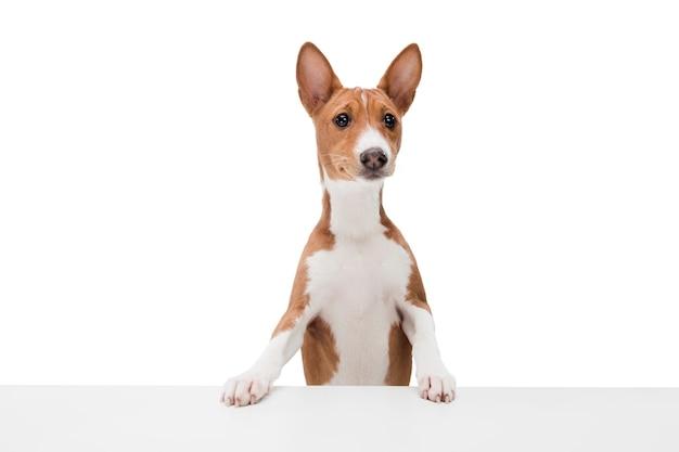 Собака басенджи, изолированные на белом фоне Бесплатные Фотографии