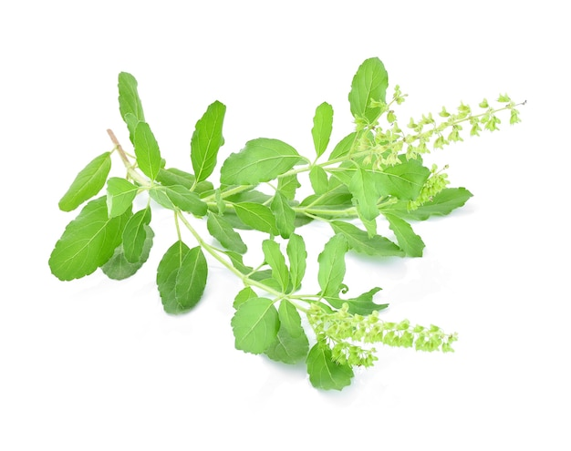 Basil flower, stalk and leaves isolated on a white Premium Photo