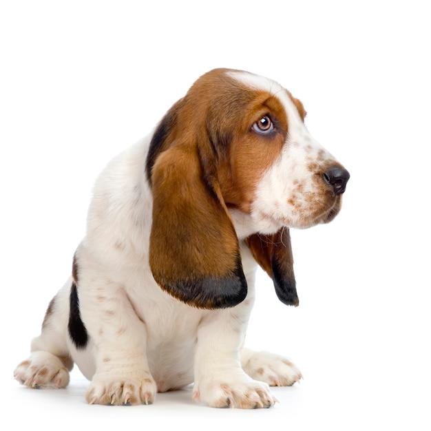 Basset Hound Puppy Hush Puppies Dog Portrait Isolated Premium Photo