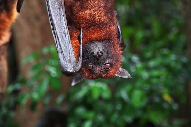 The bat in monkey forest, bali zoo, indonesia Premium Photo