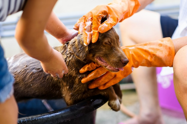 Bathing labrador puppy on bucket Premium Photo
