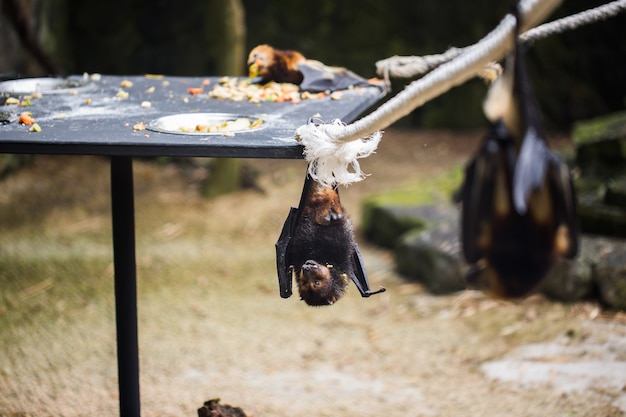 Bats are hanging in zoo cage. giant golden-crowned flying fox. Premium Photo