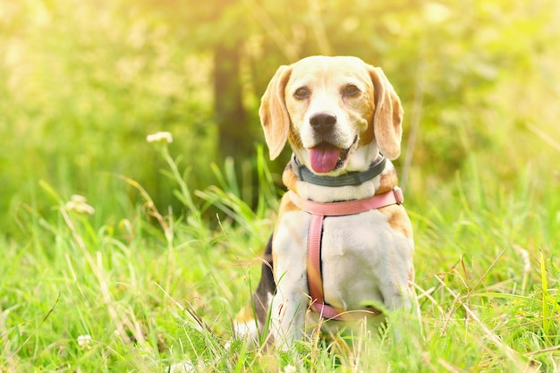 Beagle. a beautiful shot of a dog in the grass. Free Photo