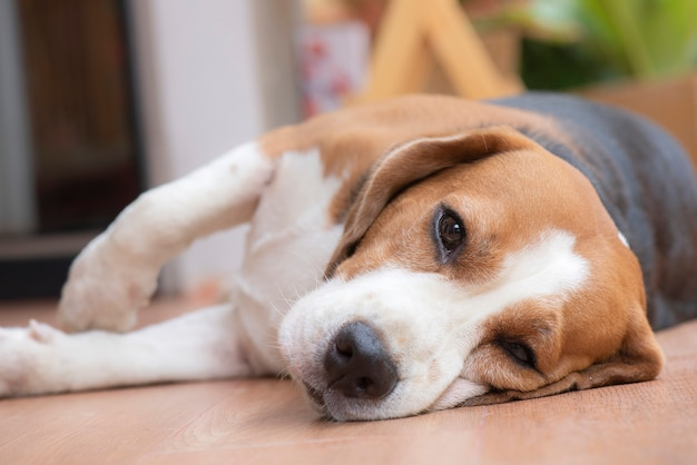 Beagle dog is sleeping and looked with a pleasant sight Premium Photo