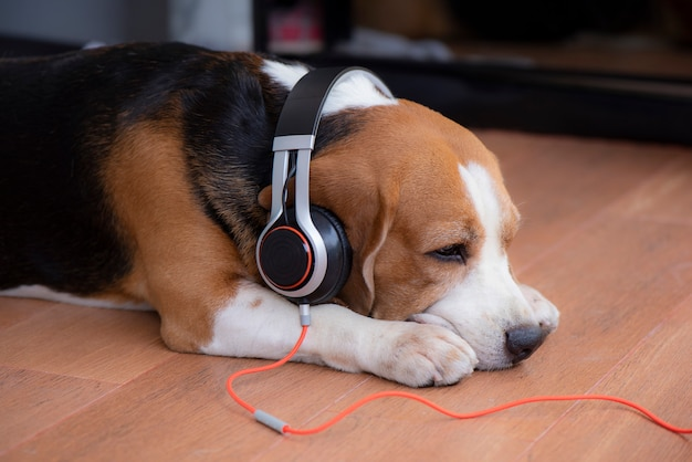Beagle dog wearing headphones Premium Photo