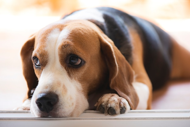 Beagle dogs are looking with poor eyesight Premium Photo