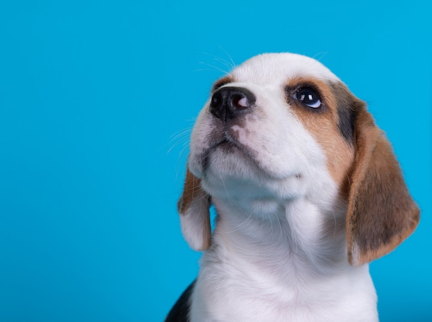 Beagles puppies looking up Free Photo