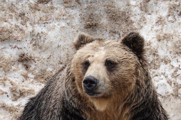 Bears in noboribetsu bear park in ,hokkaido, japan. Premium Photo