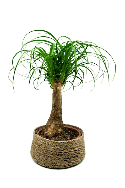 Beaucarnea isolated on white background the beaucarnea recurvata also known as ponytail palm or noli