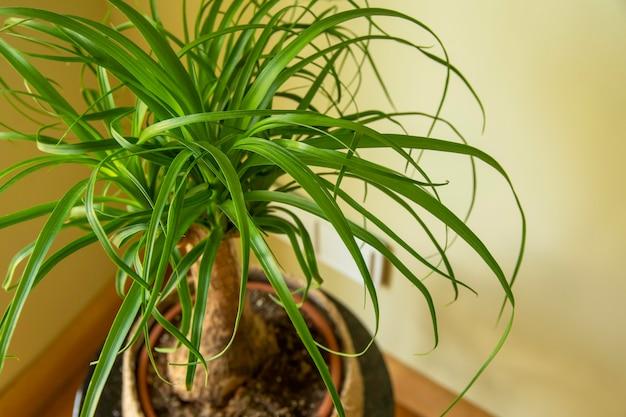The beaucarnea recurvata also known as ponytail palm or nolina houseplant Premium Photo