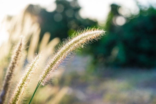 Beautiful african fountain flower blooming with sunlight in the morning Premium Photo