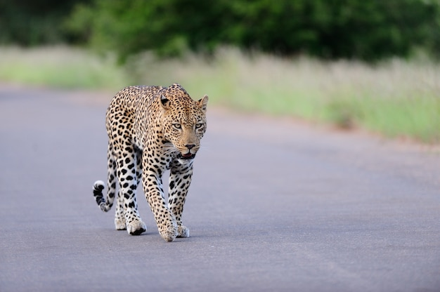 Beautiful african leopard walking on a road surrounded by grassy fields and trees Free Photo