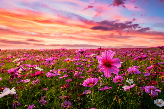 Beautiful and amazing of cosmos flower field landscape in sunset. nature wallpaper background. Premium Photo