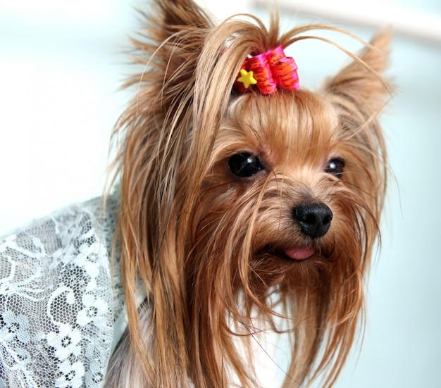 Красивая и милая собака йорк терьера Бесплатные Фотографии