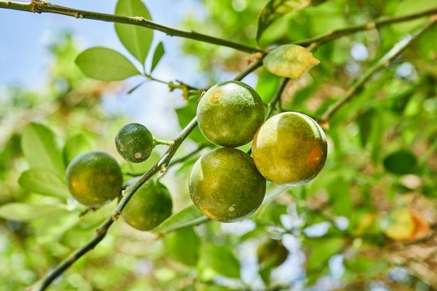 青い空を背景に夏の枝に美しく、新鮮な緑の未熟みかん Premium写真