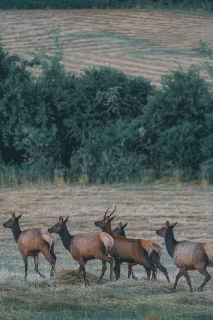 Beautiful antelope herd walking in a brownfield Free Photo