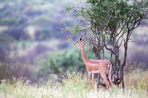 ケニアのサバンナの美しいカモシカ Premium写真