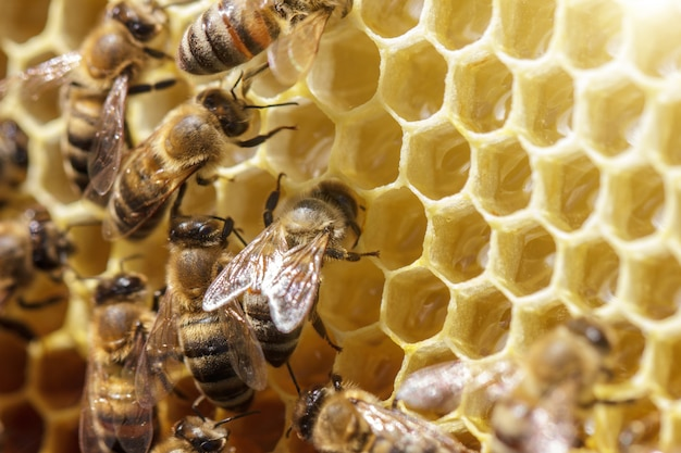 Beautiful bees on honeycombs with honey close-up Premium Photo