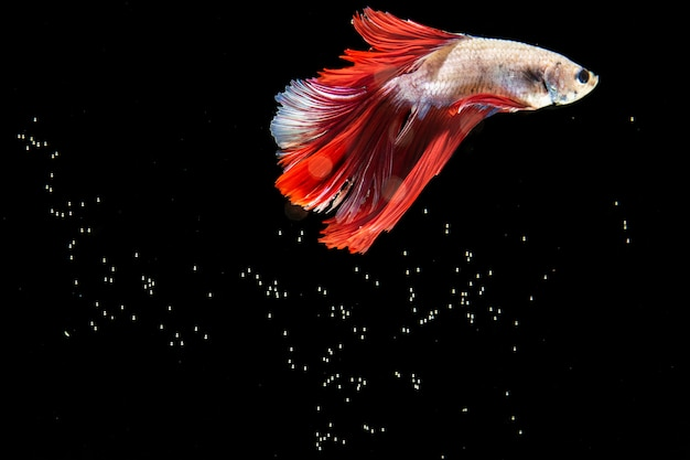 Beautiful betta fish isolated black background and bubbles Free Photo