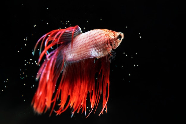 Beautiful betta fish with dress black background Free Photo