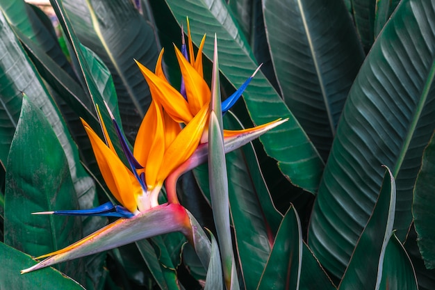 Beautiful bird of paradise flower (strelitzia reginae) with green leaves background in tropical garden Premium Photo