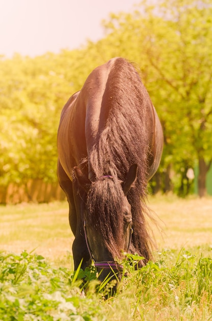 Beautiful black horse outdoors. the concept of riding. Premium Photo