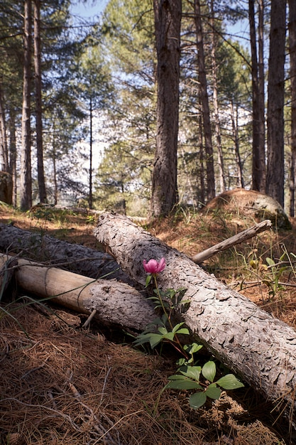 Beautiful blooming peony flower on a spring morning next to pine trunks Premium Photo