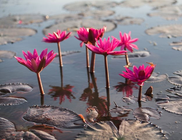 Beautiful Blossom Lotus Flower In Thailand Pond Reflect On Water