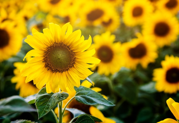 Beautiful blossom sunflowers in the field Free Photo