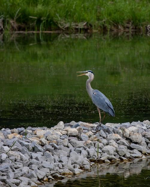 Красивый синий аист стоит на камнях у озера Бесплатные Фотографии