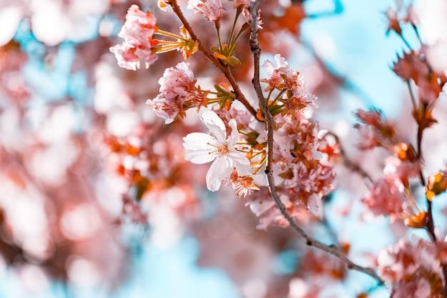 Красивые ветви с цветами сакуры Бесплатные Фотографии