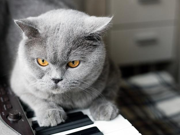 Красивый британский серый кот сидит на клавишах пианино, портрет крупным планом, большие желтые глаза Premium Фотографии