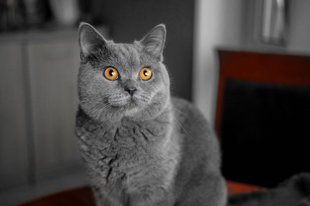 Beautiful british gray cat Premium Photo