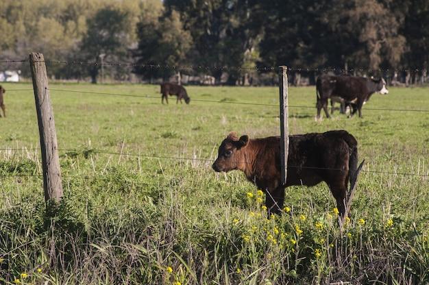 フェンスの後ろの緑のフィールドに立っている美しい茶色の子牛 無料写真