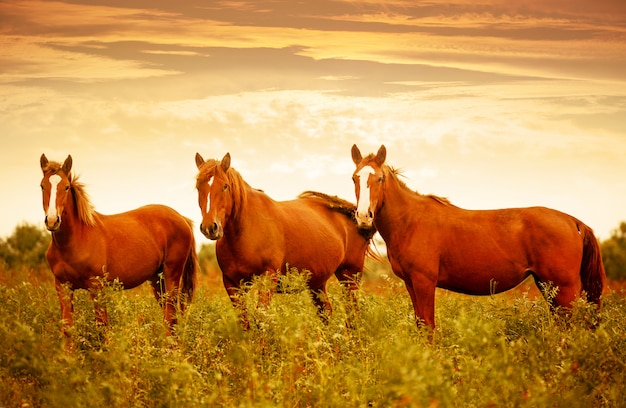 Beautiful brown horses in the green meadow during nice sunset sky Premium Photo