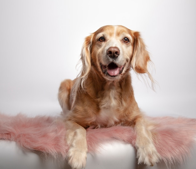 Beautiful brown mongrel hunter dog lying on a pink carpet on white background Premium Photo