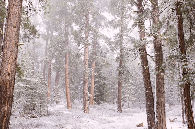 Beautiful brown pine trees in a snowy forrest Free Photo