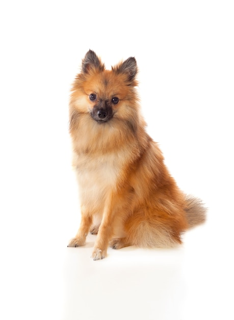 Beautiful brown pomeranian dog Premium Photo