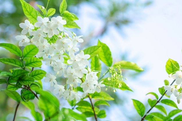 Beautiful Bunch Of White Flower Close Up Photo Premium Download