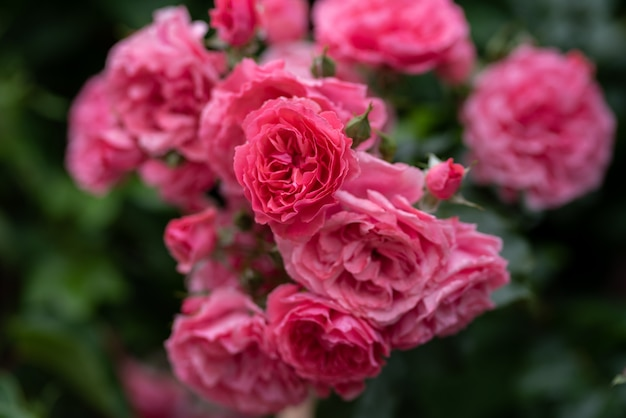 Beautiful bushes of pink roses Premium Photo